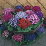 Cineraria hybrida Jester Mix - 15 seeds